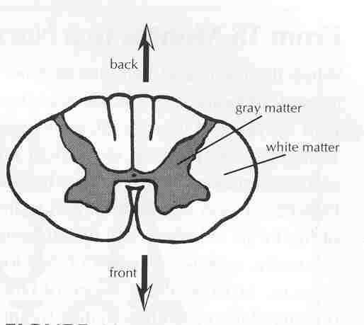 Because myelin is w hite, the spinal cord appears two-toned in color when  cut in half (cross-section). Gray matter, which looks somewhat like a  butterfly, ...