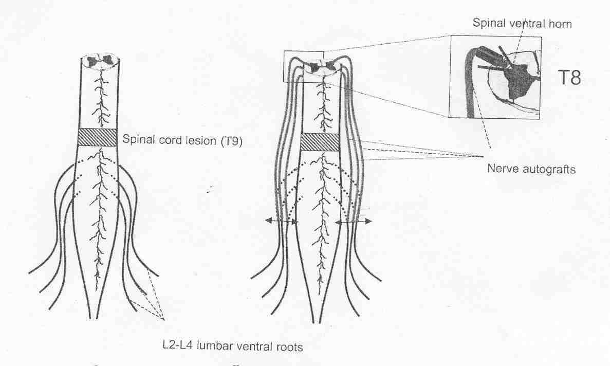 Nerve Connections on Spinal Cord Injury Functions